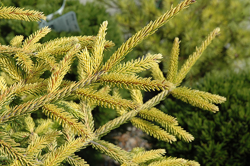 Golden Spruce Images Skylands Golden Spruce Picea