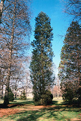 Atlantic Whitecedar (Chamaecyparis thyoides) at Stonegate Gardens