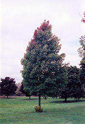 Bowhall Red Maple (Acer rubrum 'Bowhall') at Stonegate Gardens