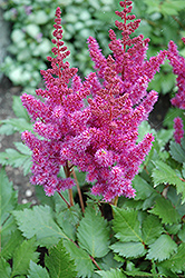 Visions Astilbe (Astilbe chinensis 'Visions') at Stonegate Gardens