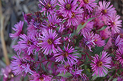 Woods Pink Aster (Aster 'Woods Pink') at Stonegate Gardens