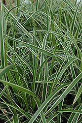 Ice Dance Sedge (Carex morrowii 'Ice Dance') at Stonegate Gardens