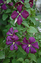 Etoile Violette Clematis (Clematis 'Etoile Violette') at Stonegate Gardens
