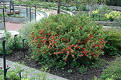 Japanese Flowering Quince (Chaenomeles japonica) at Stonegate Gardens