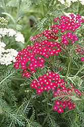 Fire King Yarrow (Achillea millefolium 'Fire King') at Stonegate Gardens