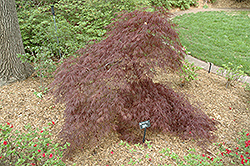 Purple-Leaf Threadleaf Japanese Maple (Acer palmatum 'Dissectum Atropurpureum') at Stonegate Gardens