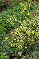 Golden Whorl Hinoki Falsecypress (Chamaecyparis obtusa 'Golden Whorl') at Stonegate Gardens