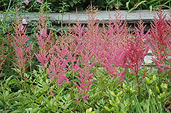 Visions in Pink Chinese Astilbe (Astilbe chinensis 'Visions in Pink') at Stonegate Gardens