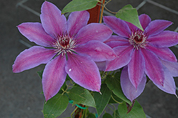 Vancouver™ Starry Nights Clematis (Clematis 'Vancouver Starry Nights') at Stonegate Gardens
