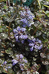 Mini Crisp Red Bugleweed (Ajuga reptans 'Mini Crisp Red') at Stonegate Gardens