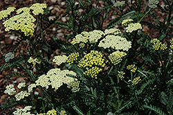 Moon Dust Yarrow (Achillea 'Novaachdus') at Stonegate Gardens