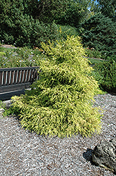Lemon Thread Falsecypress (Chamaecyparis pisifera 'Lemon Thread') at Stonegate Gardens