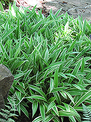 Variegated Broadleaf Sedge (Carex siderosticha 'Variegata') at Stonegate Gardens