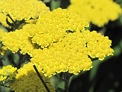 Moonshine Yarrow (Achillea 'Moonshine') at Stonegate Gardens