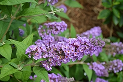 Lo And Behold® Blue Chip Dwarf Butterfly Bush (Buddleia 'Lo And Behold Blue Chip') at Stonegate Gardens