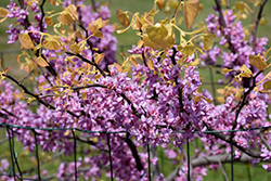 The Rising Sun Redbud (Cercis canadensis 'The Rising Sun') at Stonegate Gardens