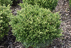Franklin's Gem Boxwood (Buxus microphylla 'Franklin's Gem') at Stonegate Gardens