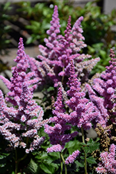 Little Vision In Purple Chinese Astilbe (Astilbe chinensis 'Little Vision In Purple') at Stonegate Gardens