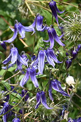 Solitary Clematis (Clematis integrifolia) at Stonegate Gardens